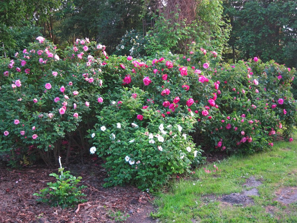 Роза-ругоза посадка и уход